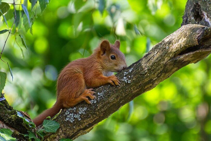 Kundentyp der Hektische - Vergleich Eichhörnchen
