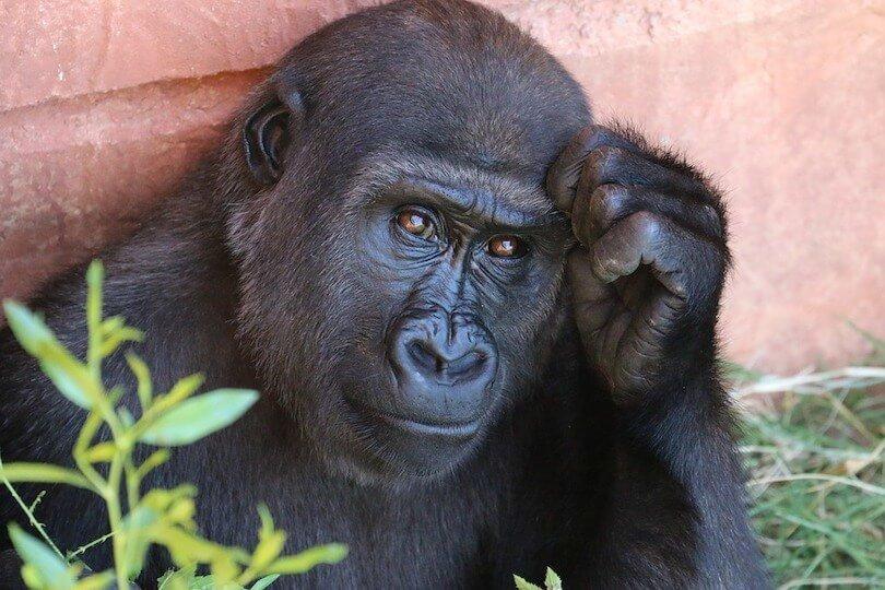 6 von 10 Kundentypen der Zustimmende - Vergleich Gorilla, sieht nachdenklich aus