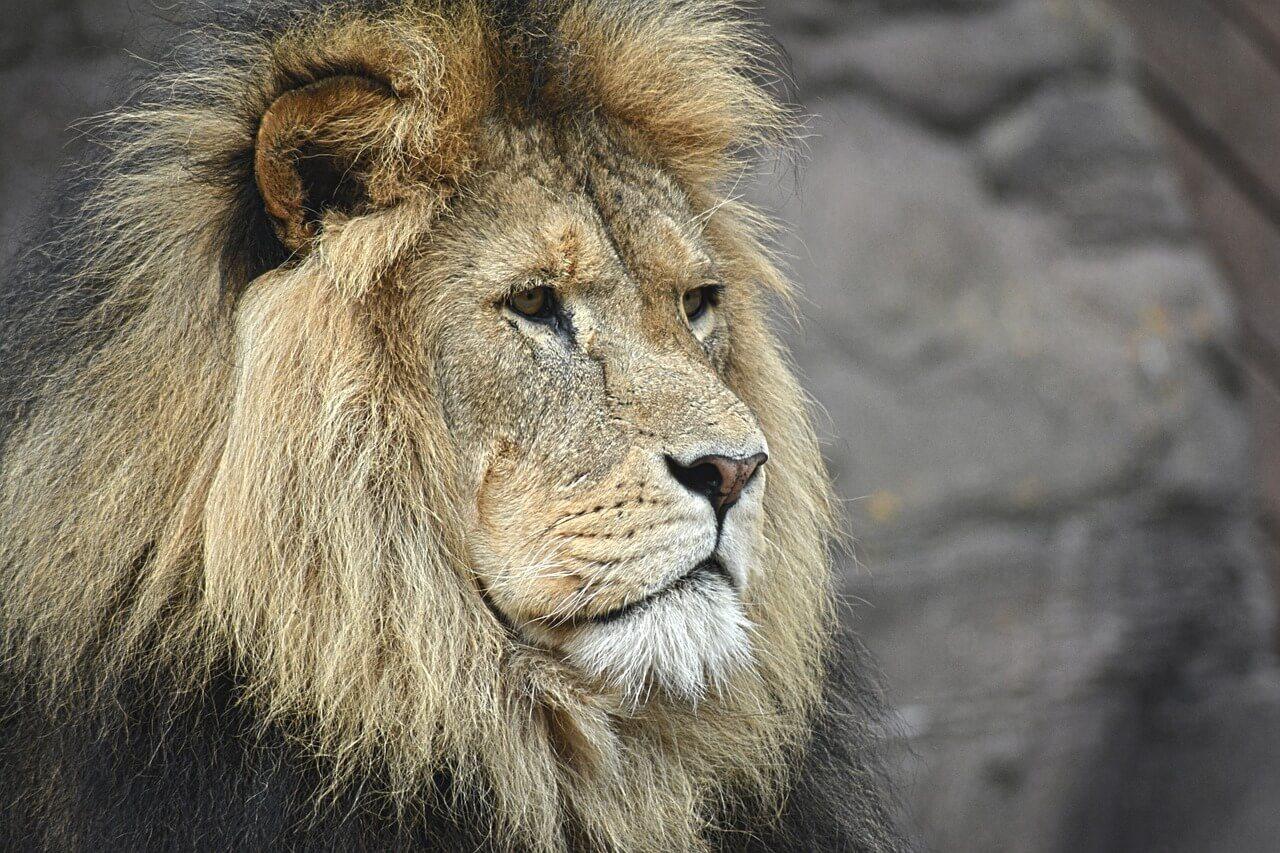Löwe hat Reputation und hohes Ansehen in der Tierwelt