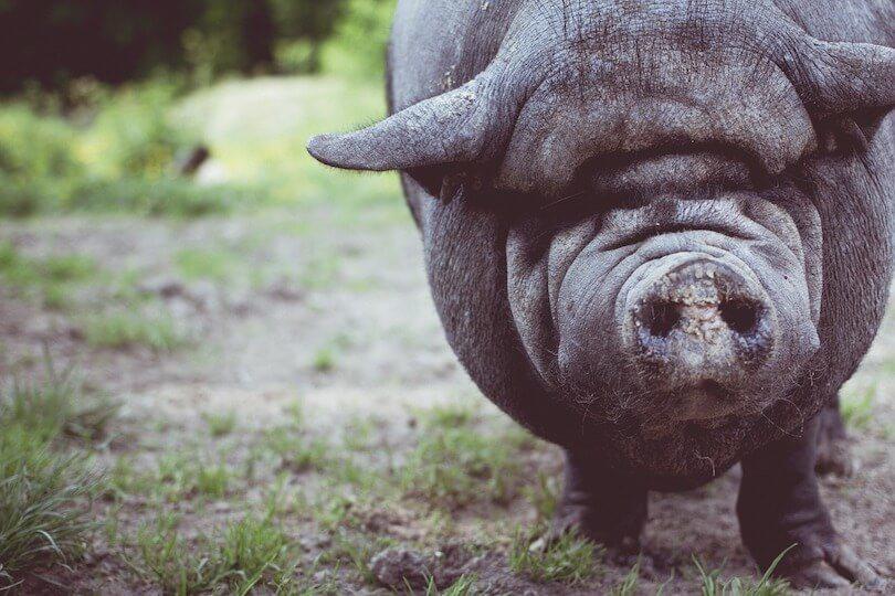 Schwein schaut pessimistisch aus